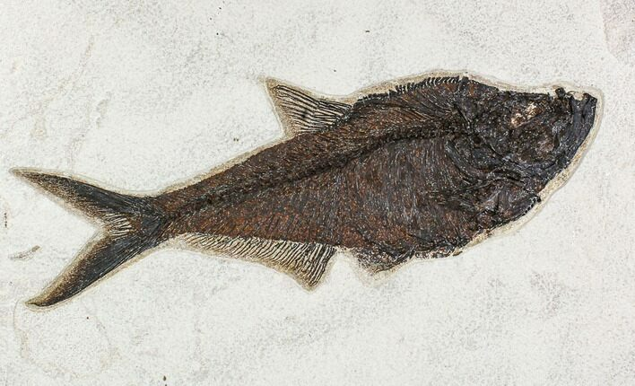 "16"" Fossil Fish (Diplomystus) From 18 Inch Layer - Top Quality"