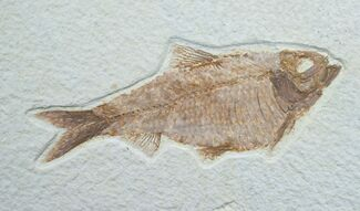 "Buy Fat 5.1"" Knightia Fossil Fish - Wyoming - #7600"