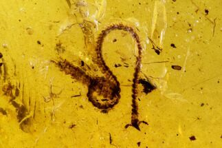 Fossil Beetle And Millipede In Amber - Myanmar For Sale, #107624