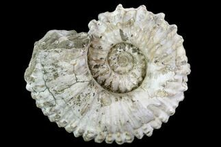 "Buy Huge, 8.25"" Tractor Ammonite (Douvilleiceras) Fossil - Madagascar - #107692"