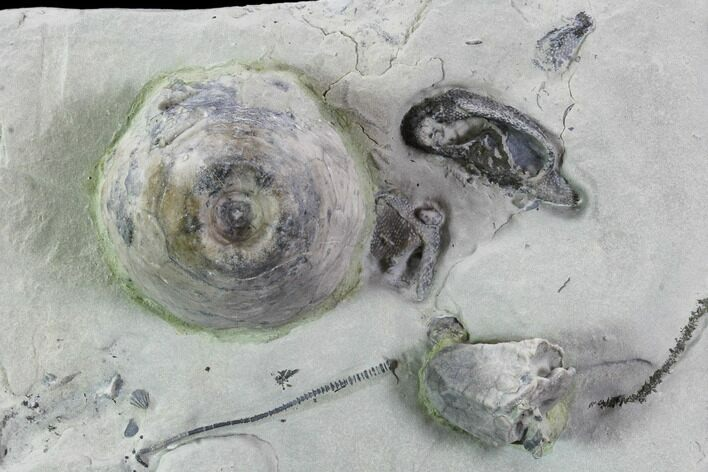 Fossil Crinoids and Brachiopods - Indiana