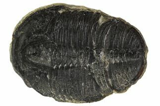 Elrathia kingii - Fossils For Sale - #108666
