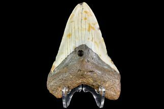 "Buy 3.86"" Fossil Megalodon Tooth - North Carolina - #109006"