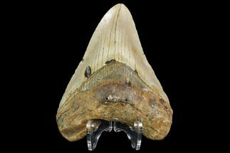 "Buy 4.03"" Fossil Megalodon Tooth - North Carolina - #109000"