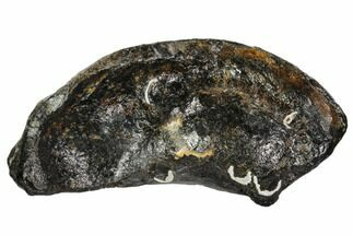 Whale (Unknown Species) - Fossils For Sale - #109269