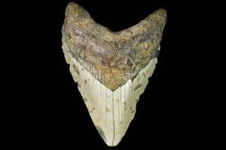 Carcharocles megalodon - Fossils For Sale - #109527