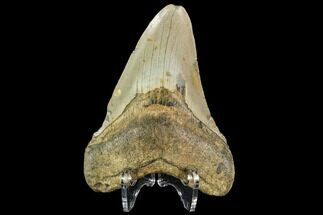 "4.15"" Fossil Megalodon Tooth - North Carolina For Sale, #109844"