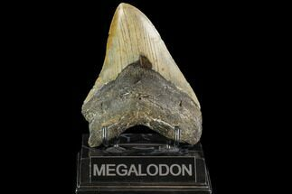 "Buy 4.77"" Fossil Megalodon Tooth - North Carolina - #109819"