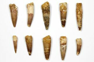 "Wholesale Lot: 1.4 to 2.2"" Bargain Spinosaurus Teeth - 10 Pieces For Sale, #108545"