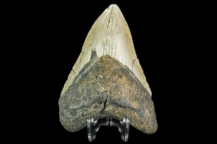 "4.49"" Fossil Megalodon Tooth - North Carolina"