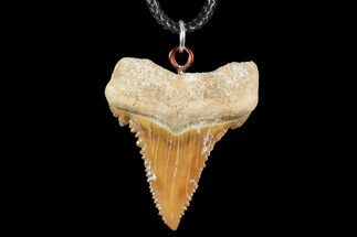 "Buy 1.37"" Fossil Shark (Palaeocarcharodon) Tooth Necklace -Morocco - #110203"