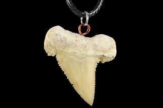 "Buy 1.5"" Fossil Shark (Palaeocarcharodon) Tooth Necklace -Morocco - #110248"