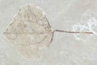 "4.2"" Fossil Leaf (Populus)- Green River Formation, Utah For Sale, #110399"