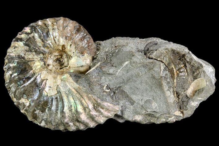 "1.3"" Iridescent Hoploscaphites Ammonite - South Dakota"