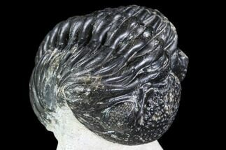 "Bargain, 2.8"" Enrolled Pedinopariops Trilobite - Mrakib, Morocco For Sale, #110654"