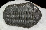 "1.75"" Adrisiops Weugi Trilobite - Recently Described Phacopid - #110726-2"