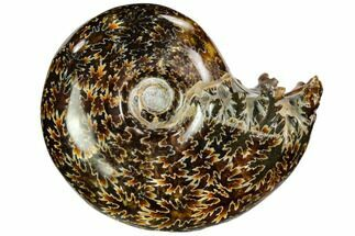 "Buy 3.8"" Polished, Agatized Ammonite (Cleoniceras) - Madagascar - #110527"
