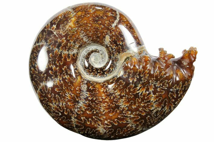 "3.8"" Polished, Agatized Ammonite (Cleoniceras) - Madagascar"