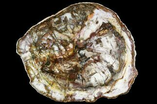 "14.2"" Petrified Wood Round - Madagascar (Top Quality) For Sale, #111107"