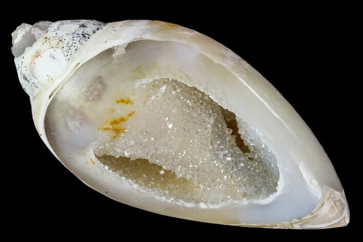 "1.67"" Chalcedony Replaced Gastropod With Druzy Quartz - India"