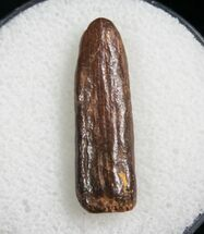 ".93"" Rebbachisaurus Tooth - Sauropod Dinosaur For Sale, #7871"