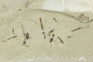 Buy Fossil Insect Cluster (Flies, Beetle) - Green River Formation, Utah - #111382