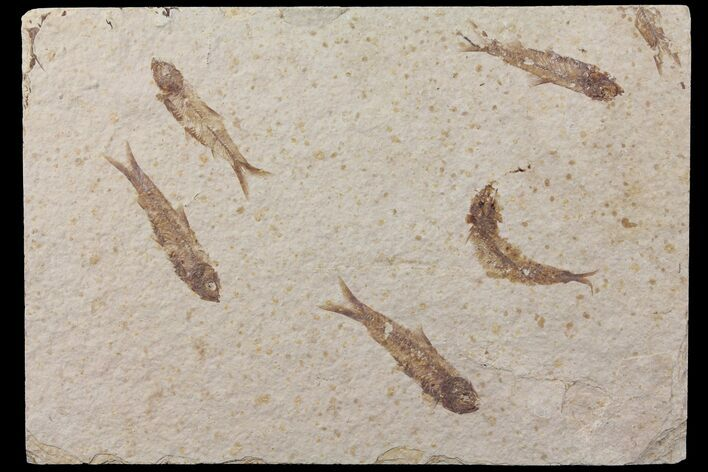 "7.7"" Shale With Five Fossil Fish (Knightia) - Wyoming"
