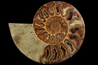 Cleoniceras - Fossils For Sale - #111492