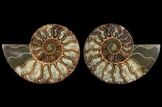 Cleoniceras - Fossils For Sale - #111477