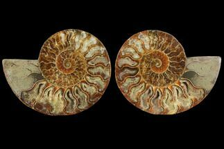 Cleoniceras - Fossils For Sale - #111480