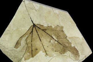 "Buy 4.7"" Fossil Sycamore (Platanus) Leaf - Green River Formation, Utah - #111412"