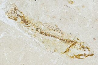 Armigatus sp.,  - Fossils For Sale - #111681