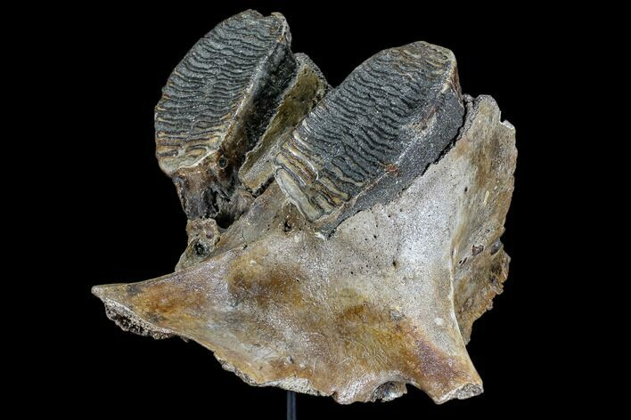"13.2"" Juvenile Woolly Mammoth Jaw Section - North Sea"