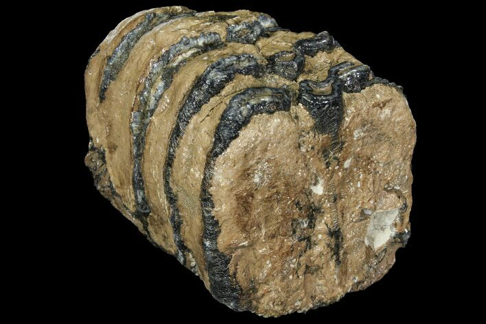 "5.0"" Partial Southern Mammoth Molar - Hungary"