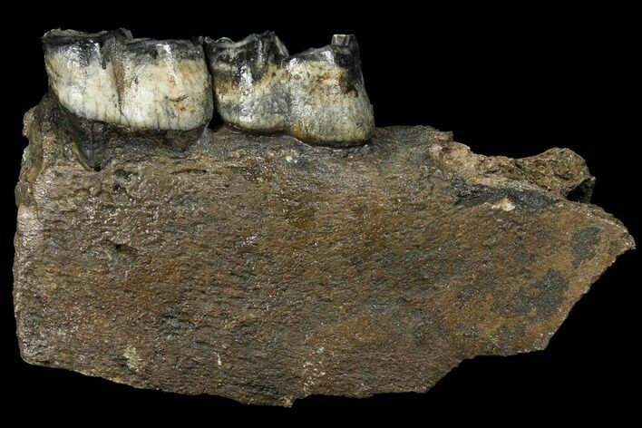 "7.6"" Fossil Rhino (Stephanorhinus) Jaw Section - Germany"