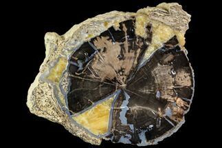 "7"" Polished Petrified Wood (Schinoxylon) End-Cut - Wyoming For Sale, #112043"