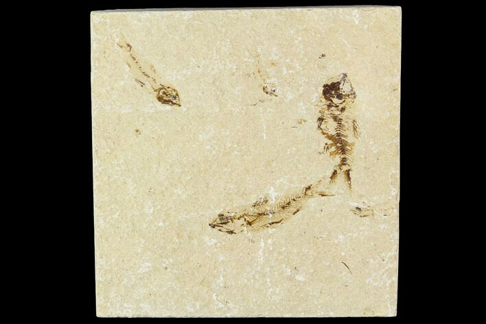 Three Cretaceous Fossil Fish - Lebanon