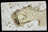 "1.4"" Fossil Crab (Potamon) Preserved in Travertine - Turkey - #112336-2"