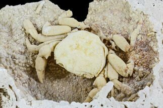 "Buy 3.1"" Fossil Crab (Potamon) Preserved in Travertine - Turkey - #112342"