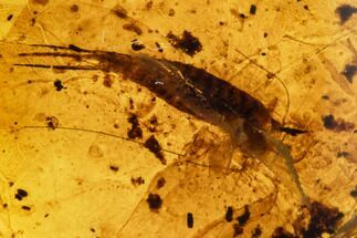 Buy Fossil Bristletail (Archaeognatha) In Amber - Myanmar - #112366