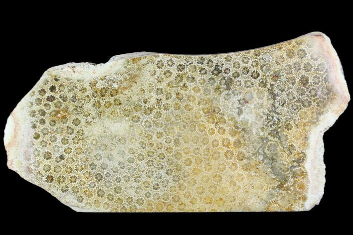 "11"" Polished, Fossil Coral Slab - Indonesia"