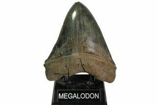"6.52"" Serrated Monster Megalodon Tooth - Massive! For Sale, #113054"