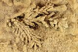 Fossil Pine Branches & Leaves Preserved In Travertine - Austria - #113060-2
