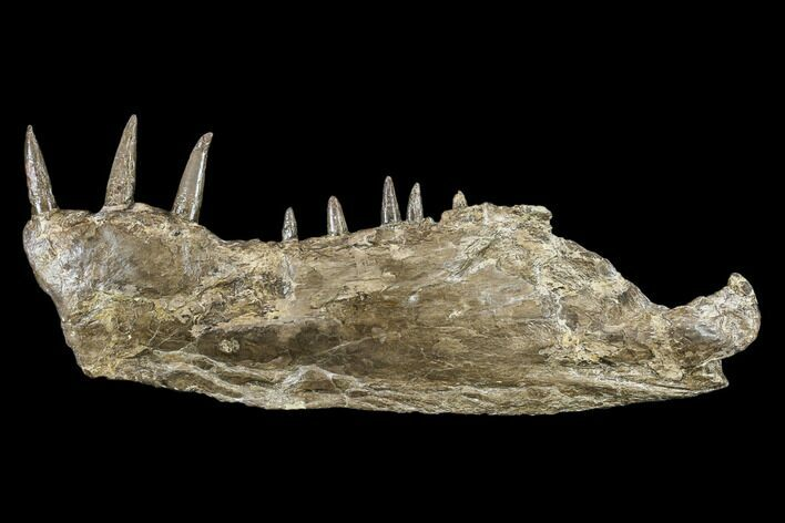 "12.7"" Cretaceous Monster Fish (Xiphactinus) Jaw - Kansas"