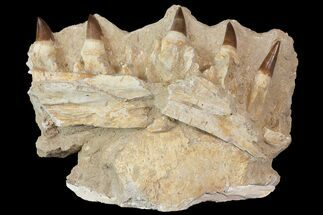 "9.4"" Fossil Mosasaur (Eremiasaurus?) Jaw Section - Morocco For Sale, #113138"