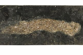 "Buy 8.1"" Eocene Garfish (Atractosteus) - Messel Shale, Germany - #113179"