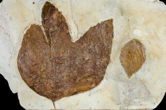 Fossil Sycamore And Hackberry Leaves - Montana For Sale, #113180