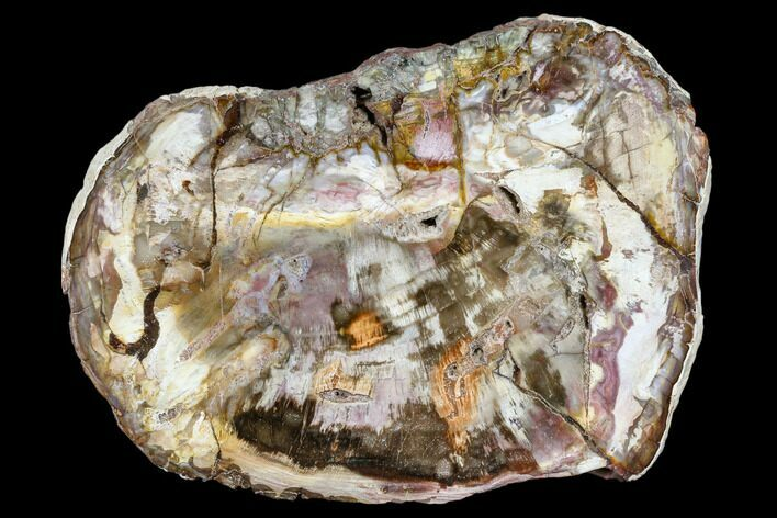 "9.2"" Colorful, Petrified Wood (Araucaria) Round - Madagascar"