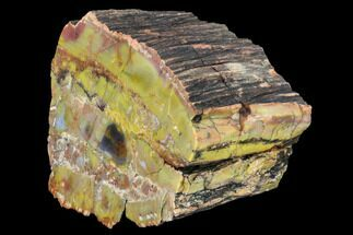 "Buy 5.4"" Vibrantly Colored, Polished Petrified Wood Section - Arizona - #113377"