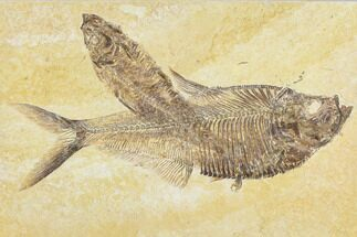 "6.6"" Diplomystus Fossil Fish With Knightia - Wyoming For Sale, #113561"